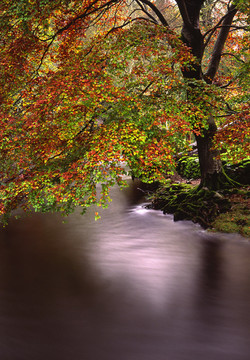 Autumn Beech Tree