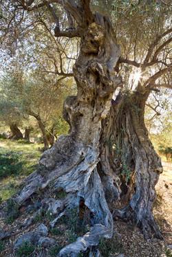 0286_olive_tree