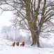 3288_snowy_marske_cattle-Edit-Edit