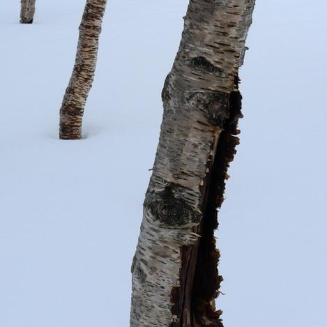 12_03_LX5_P1020756_Snow_Birch