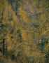 Autumnal larch 2048