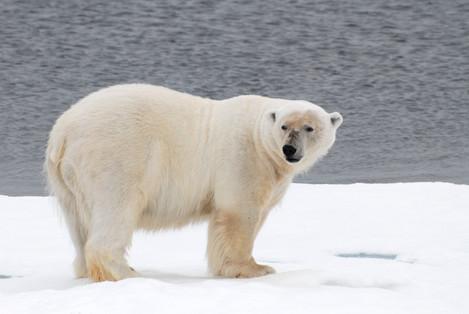 03_Polar_Bear