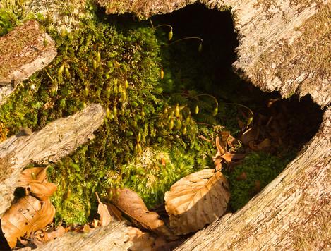 Cave of moss in fallen beech (for OnLandscape) (high pass) LR-3107