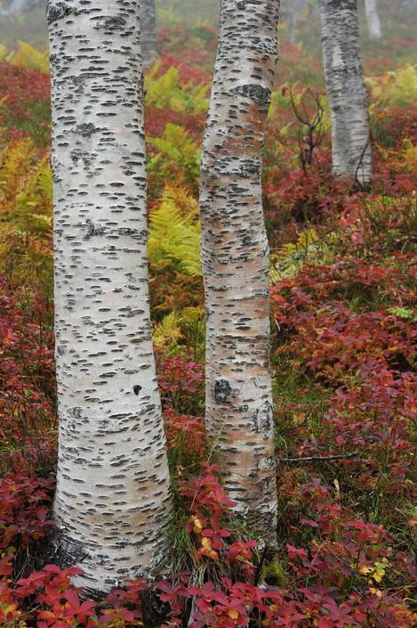 Bunchberry & Birch, Kvaløya, Arctic Norway, Harvey Lloyd-Thomas, website