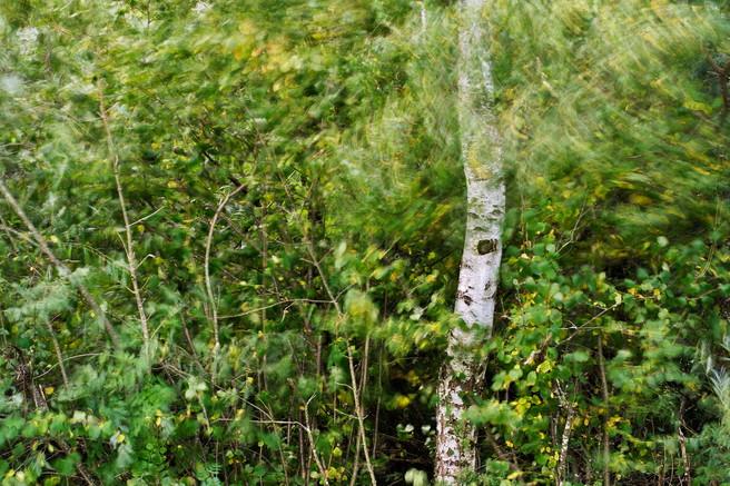 Birch tree in the wind, Chaumont, Haute Savoie, France, Patrick Morand, website